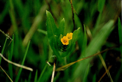 3/11/01 Common Fiddleneck/Orange-Flowered Fiddleneck (Amsinckia menziesii var. intermedia). Abundant off sandy trail in meadow heading towards coast. Charmlee Wilderness Park, Santa Monica Mountains, Malibu, Los Angeles County, CA