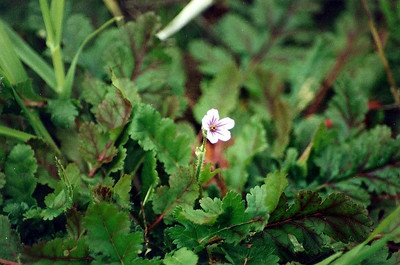 3/11/01 Long-Beaked Filaree / Big Heron's Bill (Erodium botrys). Abundant on sandy trail through meadow heading towards coast. Late heavy winter rains - cold & overcast today. Charmlee Wilderness Park, Santa Monica Mountains, Malibu, Los Angeles County, CA