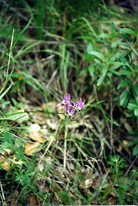 3/11/01 Cleveland's Shooting Star (Dodecatheon clevelandii). One observed on trail. Charmlee Wilderness Park, Santa Monica Mountains, Malibu, Los Angeles County, CA