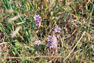 4/3/05 Blue-Eyed Grass (Sisyrinchium bellum). Grotto Trail, Circle X Ranch, Santa Monica Mountains National Recreation Area, Ventura County, CA