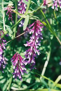 4/3/05 Winter/Hairy Vetch (Sativa villosa). Grotto Trail, Circle X Ranch. Santa Monica Mountains National Recreation Area, Ventura County, CA
