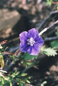 4/3/05 Parry's Phacelia (Phacelia parryi). Grotto Trail, Circle X Ranch. Santa Monica Mountains National Recreation Area, Ventura County, CA