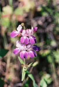 4/3/05 Chinese Houses (Collinsia heterophylla). Grotto Trail, Circle X Ranch. Santa Monica Mountains National Recreation Area, Ventura County, CA