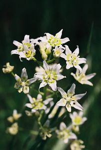4/3/05  Star Lily (Zigadenus fremontii). Grotto Trail. Circle X Ranch. Santa Monica Mountains National Recreation Area, Ventura County, CA