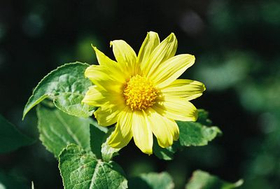 4/3/05 Canyon Sunflower (Venegasia carpesioides). Grotto Trail, Circle X Ranch. Santa Monica Mountains National Recreation Area, Ventura County, CA
