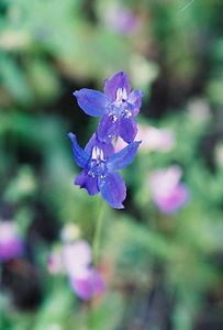 4/3/05 Zigzag Larkspur/Spreading Delphinium (Delphinium patens). Grotto Trail. Circle X Ranch. Santa Monica Mountains National Recreation Area, Ventura County, CA