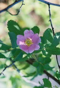 7/4/05 Wood's Rose (Rosa woodsii). Clear Lake Trail (from Mill Creek Falls Trail). South Warner Wilderness, Modoc National Forest, Modoc County, CA