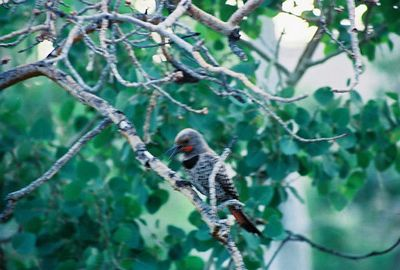 7/7/05 Northern (Red-Shafted) Flicker (Colaptes auratus). Next to cabin#6 at Convict Lake Resort. 6:00am. Inyo National Forest, Eastern Sierras, Mono County, CA