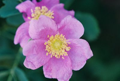 7/6/05 Wood's Rose / Wild Rose (Rosa woodsii). Convict Lake. Inyo National Forest, Eastern Sierras, Mono County, CA