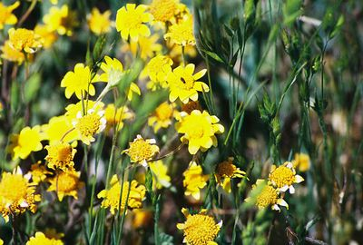 5/8/04 Goldfields (Lasthenia californica). Meadows off Hwy 79 north of Cuyamaca Ranch State Park Headquarters, San Diego County, CA