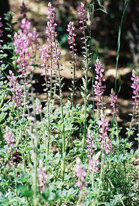 5/8/04 Stinging Lupine (Lupinus hirsutissimus). Green Valley Falls Trail, Cuyamaca Rancho State Park, San Diego County, CA