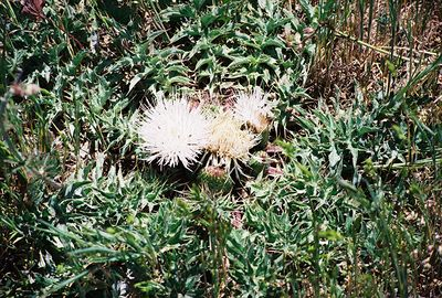 5/8/04 Drummond's/Elk Thistle (Cirsium scariosum). Meadows off Hwy 79 north of Cuyamaca Ranch State Park Headquarters, San Diego County, CA