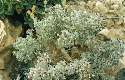 PLANTS: CHENOPODIACEAE (Goosefoot Family)