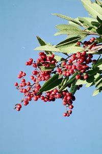 11/28/04 Toyon (Heteromeles arbutifolia). Debs Audubon Center, Montecito Heights, Los Angeles County, CA