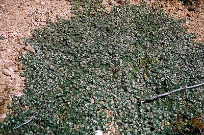 3/24/98 Rattlesnake Weed (Euphorbia albomarginata). Desert Tortoise Natural Area, Kern County, CA