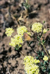7/3/05  Thicket Hairstreak (Callophrys spinetorum) on Sulfur Flower (Eriogonum umbellatum). Roadside off County Rd. 73 to Big Sage Reservoir. Devil's Garden Natural Area, Modoc National Forest, Modoc County, CA