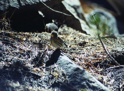 9/7/02 Yellow-rumped Warbler (Dendroica coronata). Trail from Ranger's Station to Devil's Postpile. Devil's Postpile National Monument, Mono County, CA