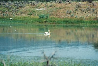 7/4/05 American White Pelican. Dorris Reservoir, Modoc National Wildlife Refuge, Modoc County, CA