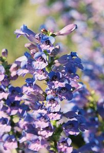 7/5/05 Showy Penstemon (Penstemon speciosus). Hwy 139 (southbound), just north of mile marker 35, north of Eagle Lake, Lassen County, CA