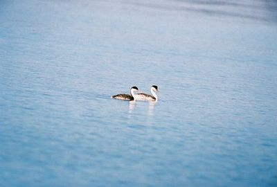 7/5/05 Western Grebe (Aechmophorus occidentalis). Eagle Lake, Lassen County, CA