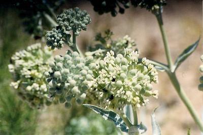5/25/03 Desert Milkweed (Asclepias erosa). Kelso-Cima Road, East Mojave National Preserve, San Bernardino County, CA
