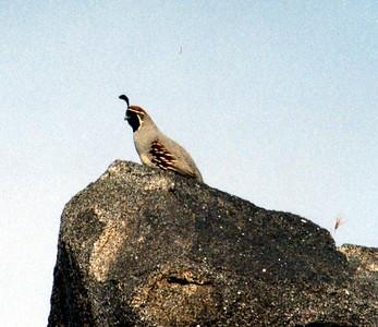 BIRDS: Quails (Odontophoridae)