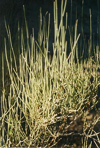 10/31/98 Nevada Ephedra (Ephedra nevadensis). Mid Hills, East Mojave National Preserve, San Bernardino County, CA