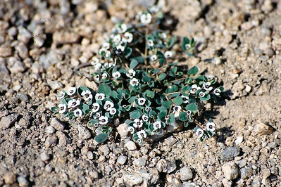 4/27/01 Rattlesnake Weed (Euphorbia albomarginata). Black Canyon Road, just north of Mid Hills. East Mojave National Preserve, San Bernardino County, CA