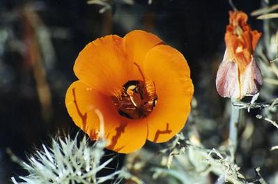 5/25/03 Desert Mariposa Lily (Calochortus kennedyi). Mid Hills, near campsite #1, East Mojave National Preserve, San Bernardino County, CA