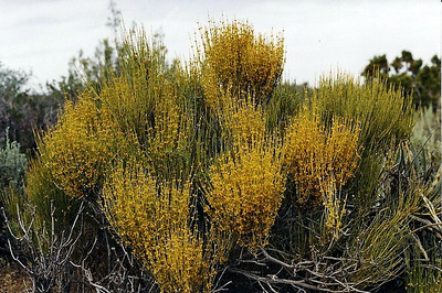 5/25/03 Green Ephedra (Ephedra viridis). Roadside near campgrounds, East Mojave National Preserve, San Bernardino County, CA