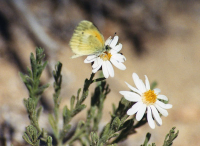 5/24/03 Dwarf Yellow/ Heath-Leaved Chaetopappa with Dainty Sulphur (Nathalis iole). On White Aster (Chaetopappa ericoides). Mid Hills, East Mojave National Preserve, San Bernardino County, CA