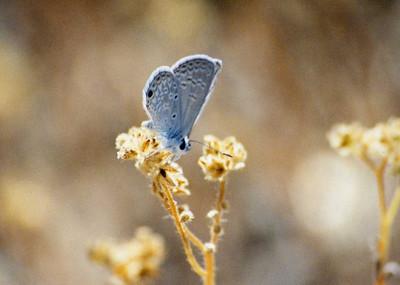5/24/03 Antillean/Ceraunus Blue (Hemiargus ceraunus), on Plagiobothrys sp. Mid Hills, East Mojave National Preserve, San Bernardino County, CA
