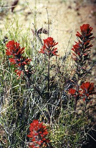 5/25/03 Desert Indian Paintbrush (Castilleja angustifolia). Teutonia Peak Trail, Cima Dome, East Mojave National Preserve, San Bernardino County, CA