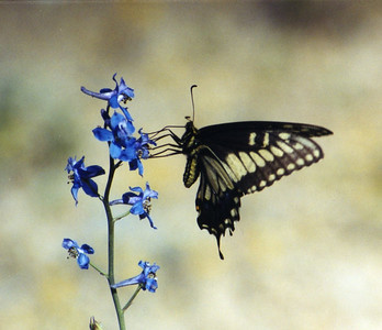5/25/03 Desert Black Swallowtail (Papilio polyxenes coloro) on Parish's Larkspur (Delphinium parishii). Teutonia Peak Trail, Cima Dome, East Mojave National Preserve, San Bernardino County, CA