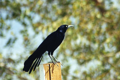 10/23/02 Great-tailed Grackle (Quiscalus mexicanus). Olancha (outside beef jerky shop), Inyo County, CA