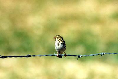 10/23/02 Savannah Sparrow? (yellowish eye stripe, streaking on back, breast & flanks). (Passerculus sandwichensis). Wildlife Viewing Area between Independence & Big Pine off Hwy 395. Eastern Sierras, Inyo County, CA.