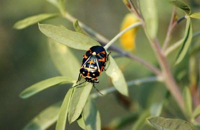 10/27/02 Harlequin Stink Bug (Murgantia histrionica). El Dorado Regional Park, Long Beach, Los Angeles County, CA