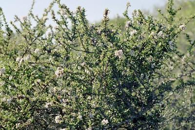 1/16/05 Buckbrush/Wedgeleaf Ceanothus (Ceanothus cuneatus). Elfin Forest, Baywood Park, San Luis Obispo County, CA