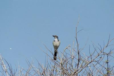 1/16/05 Western Scrub Jay (Aphelocoma californica)