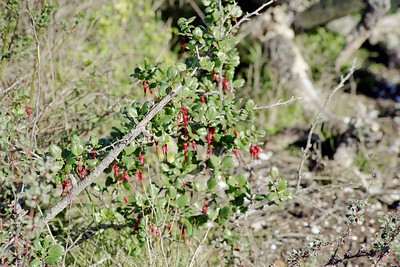 1/16/05 Fuschia-Flowered Gooseberry (Ribes speciosum). Elfin Forest, Baywood Park, San Luis Obispo County, CA