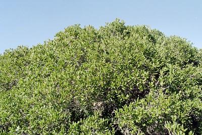 1/16/05 Coast Live Oak (Quercus agrifolia). Elfin Forest, Baywood Park, San Luis Obispo County, CA