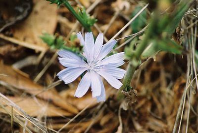 8/18/04 Chicory (Cichorium intybus). South Marsh Loop. Elkhorn Slough National Estuarine Research Reserve, Monterey County, CA