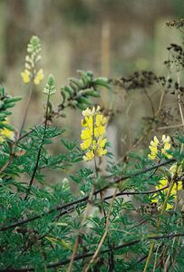 8/18/04 Yellow Tree Lupine (Lupinus arboreus). South Marsh Loop. Elkhorn Slough National Estuarine Research Reserve, Monterey County, CA