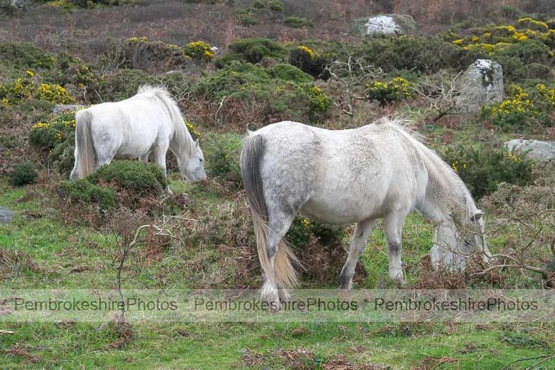 Ponies at St Davids Head.