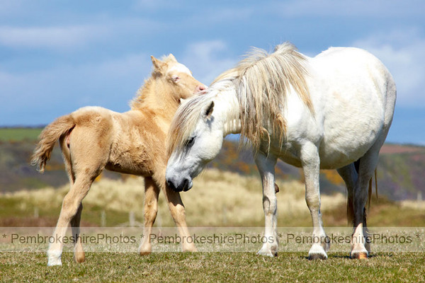 Ponies at Stackpole Head.