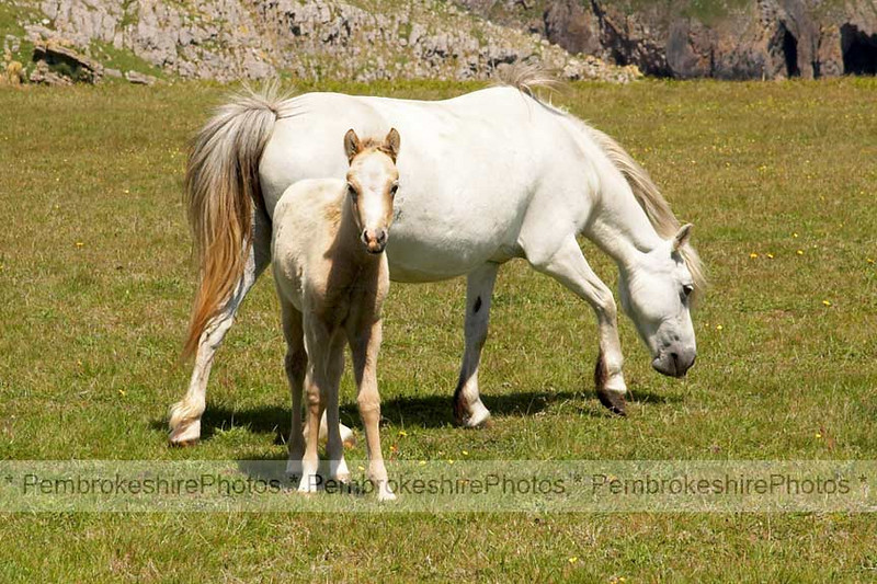 Ponies at Stackpole.