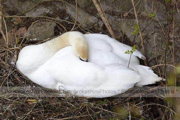 Swan on eggs.