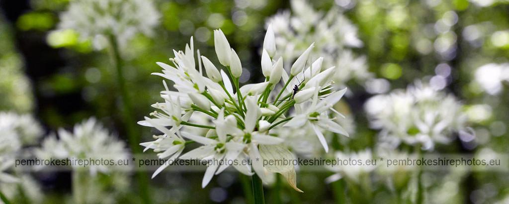 Wild garlic.