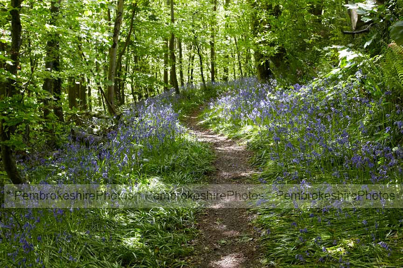 Bluebells at Stackpole.