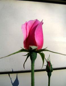 rose2359